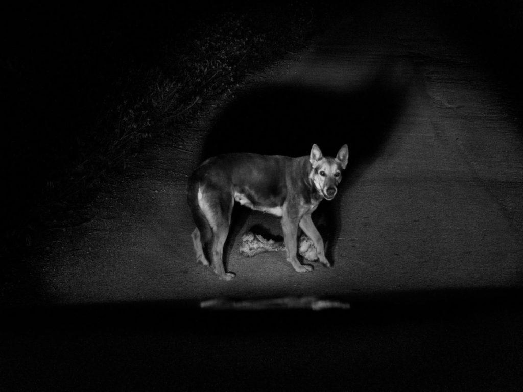 Бродячие собаки, которые нападают на местных жителей, бродят по сельской местности Шикли, остров Сицилия, Италия, 2020 год.