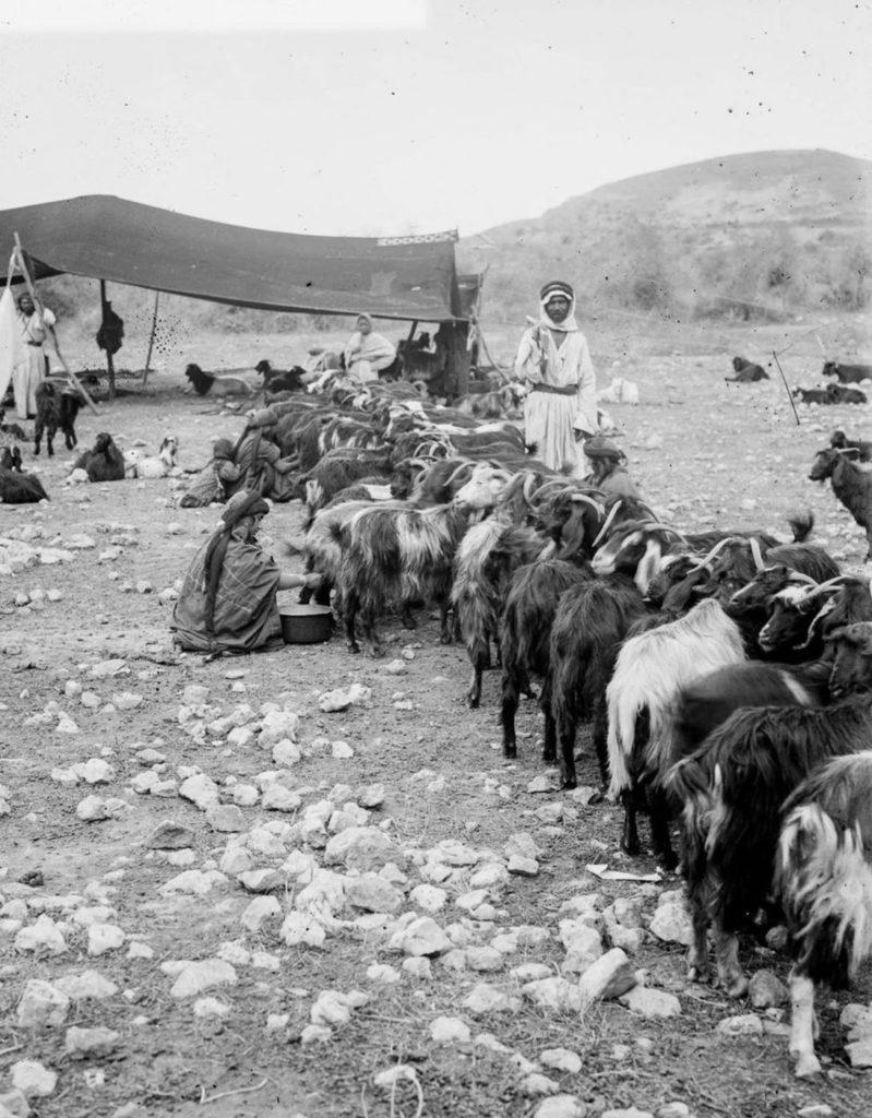Женщина доит козу, 1898 год.