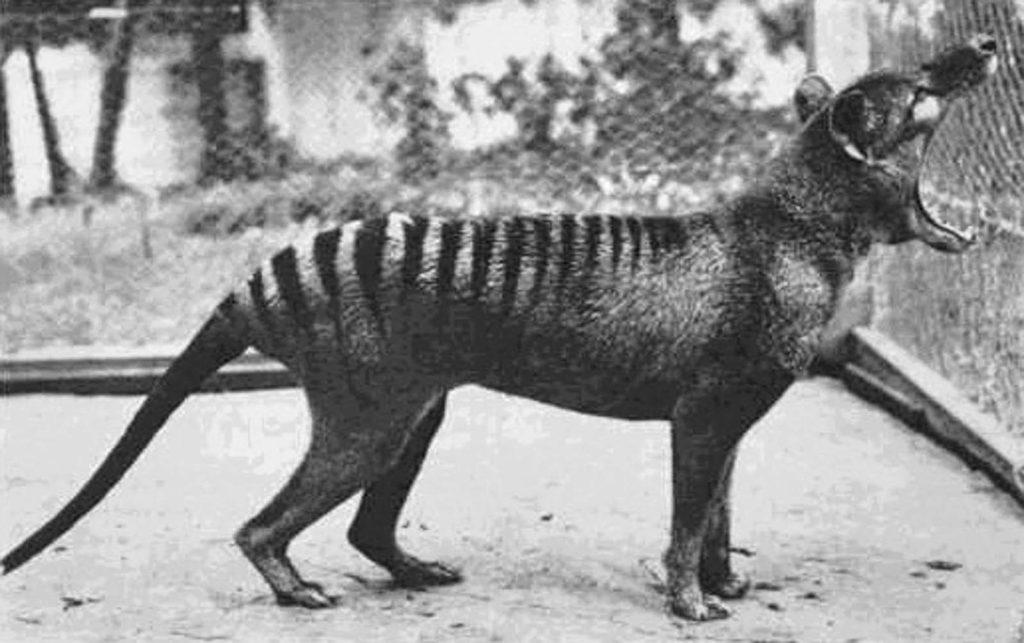 Последний живой тилацин в неволе в зоопарке Хобарта. Тилацины были способны открывать челюсти на 80 градусов. 1933 г. Источник: Getty Images / AFP / Tasmanian Archive and Heritage Office
