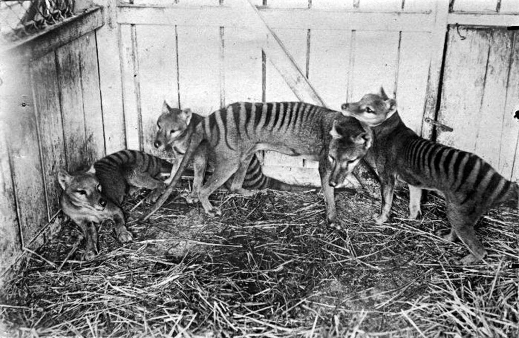 Тилацины в зоопарке Хобарта. 1910 год. Источник: Getty Images / AFP / Tasmanian Archive and Heritage Office