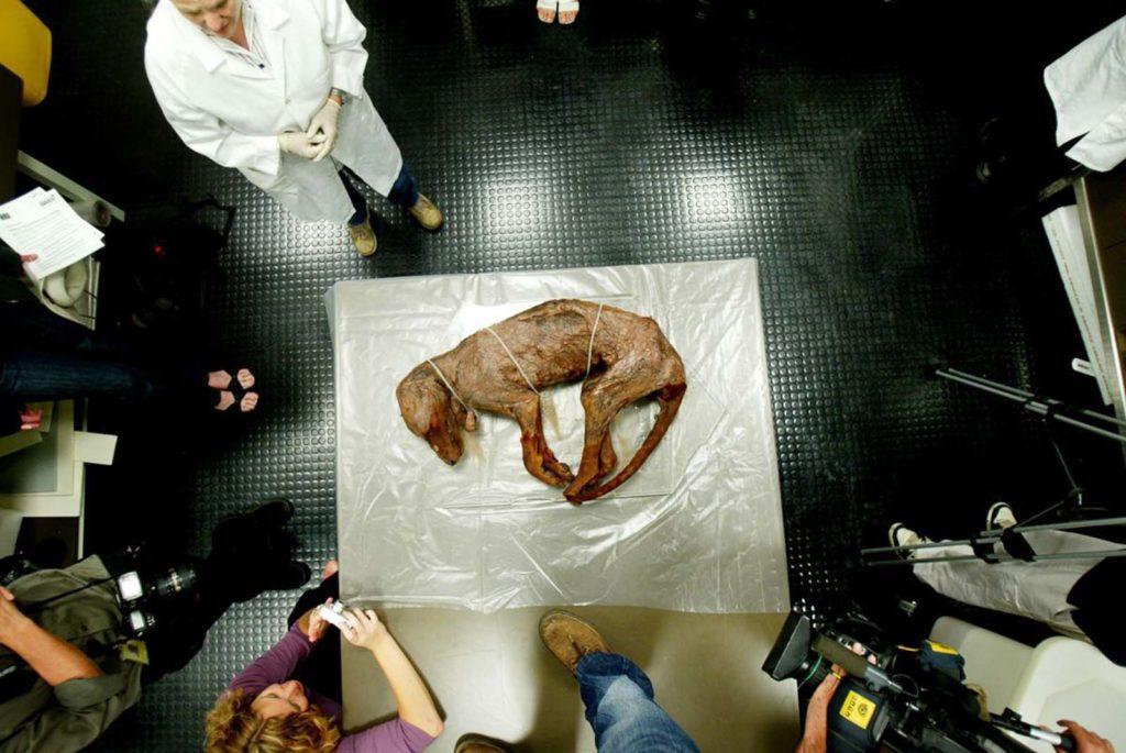 Сохранившееся тело тилацина в Национальном музее Австралии в Канберре. 2005 год. Источник: Getty Images / AFP / Tasmanian Archive and Heritage Office