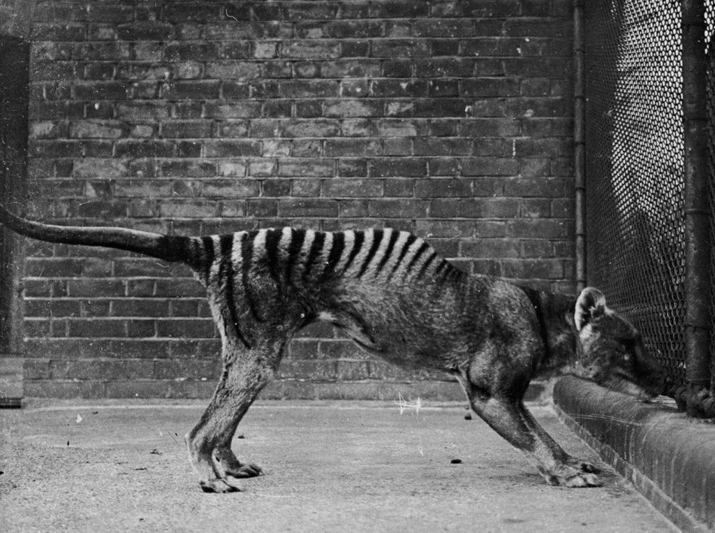 Последний тасманийский тигр был родом из Тасмании, Новой Гвинеи и материковой части Австралии. Источник: Getty Images / AFP / Tasmanian Archive and Heritage Office