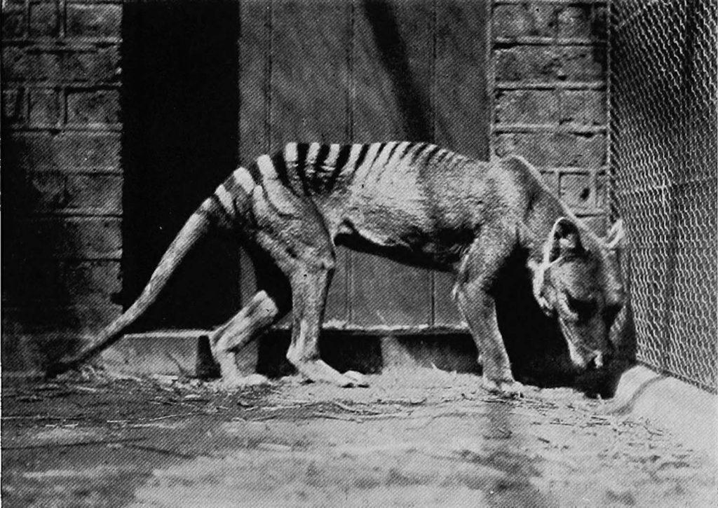 Последнее известное живое животное было поймано в 1933 году на Тасмании. Источник: Getty Images / AFP / Tasmanian Archive and Heritage Office