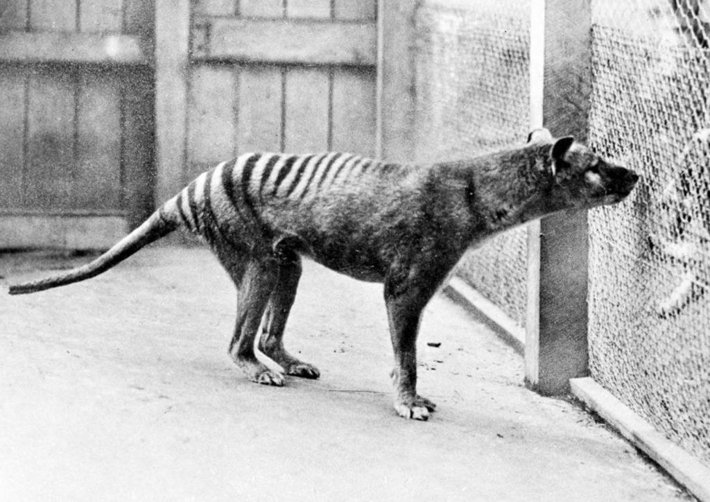 Фото одного из последних тилацинов, содержащихся в зоопарке Хобарта. 1933 г. Источник: Getty Images / AFP / Tasmanian Archive and Heritage Office