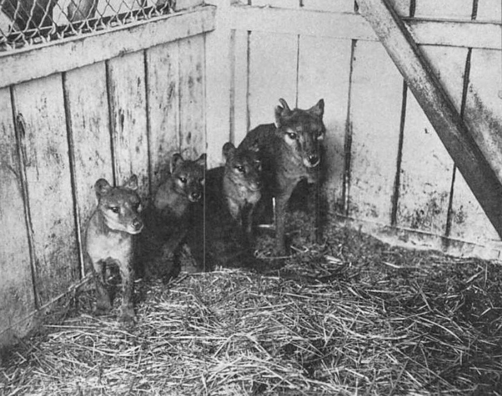 Взрослый тилацин и три детеныша в зоопарке Хобарта. 1909 год. Источник: Getty Images / AFP / Tasmanian Archive and Heritage Office