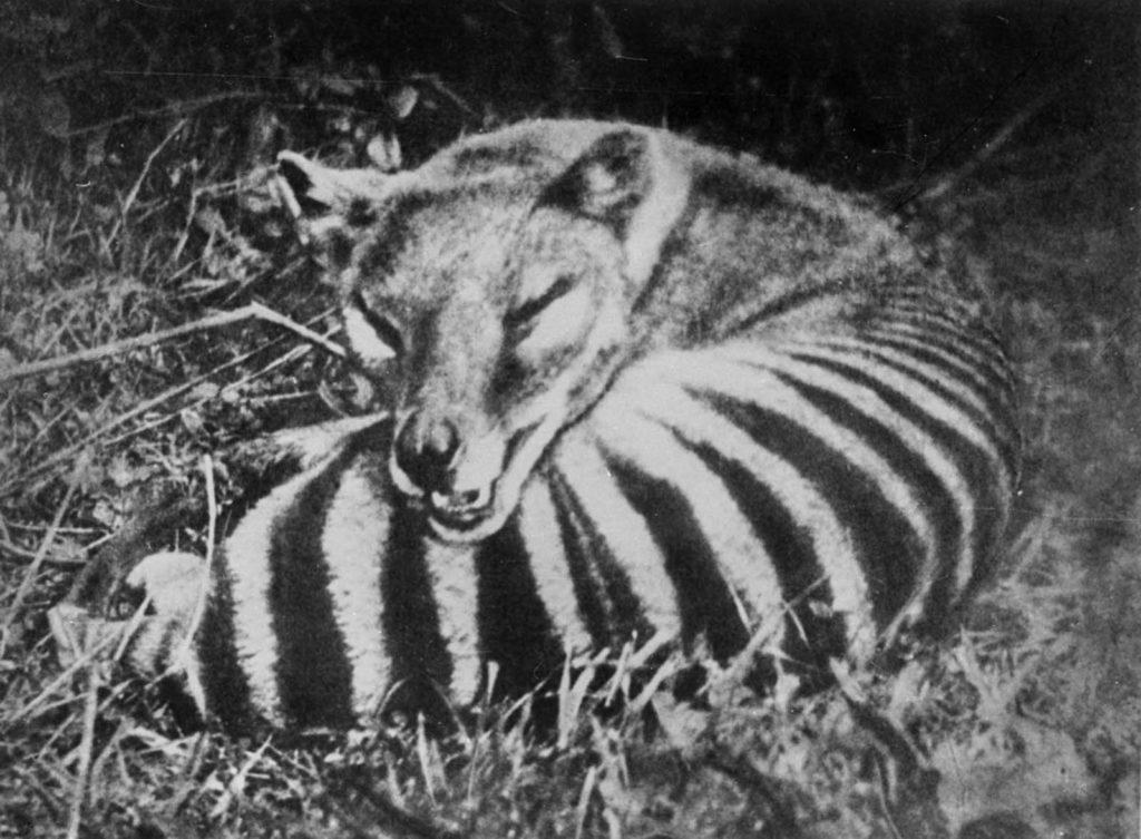 Интенсивное истребление, поощряемое наградами, обычно считают ключевой ролью в исчезновении вида, но другими факторами, способствовавшими этому, могли быть болезни, появление собак и вторжение человека в среду его обитания. Источник: Getty Images / AFP / Tasmanian Archive and Heritage Office