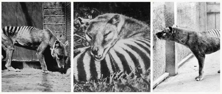 Тилацин: вся правда о Тасманском волке